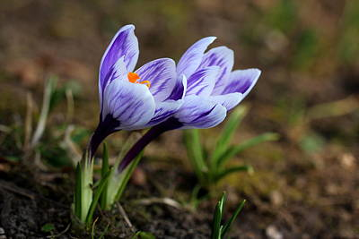 Lenz Wall Art - Photograph - Spring Crocus by Heike Hultsch