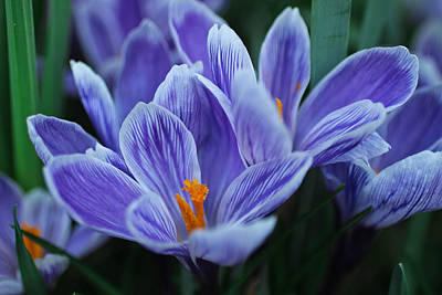 Photograph - Spring Crocus by Julie Andel
