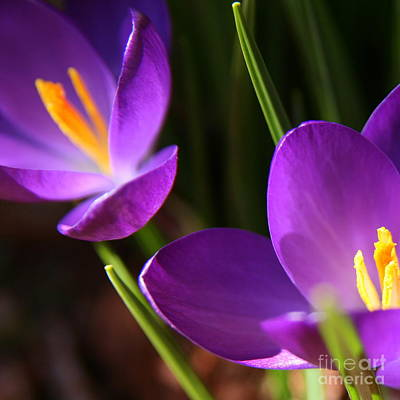 Photograph - Spring Crocus Pair  by Neal Eslinger