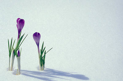 White Flower Photograph - Spring Crocuses In Snow  by Anonymous