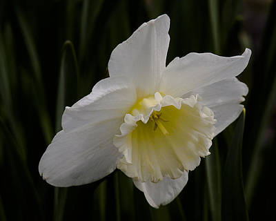 Photograph - Spring Daffodil by Ron Roberts