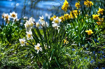 Photograph - Spring Daffodils 1. Park Keukenhof by Jenny Rainbow