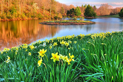 Litchfield Hills Photograph - Spring Daffodils At Laurel Ridge-connecticut  by Thomas Schoeller