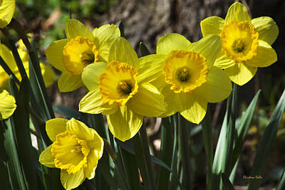 Rollos Photograph - Spring Daffodils by Christina Rollo