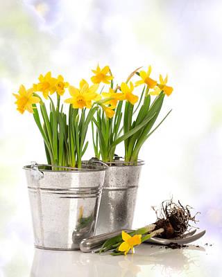 Daffodils Photograph - Spring Daffodils by Amanda Elwell