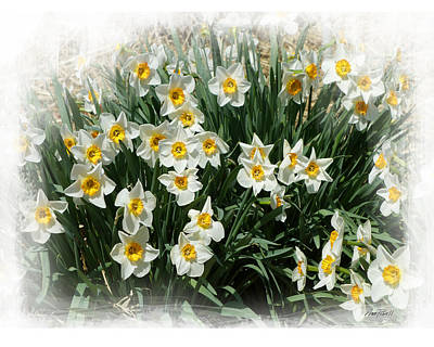 Photograph - Spring Daffodils -  Photograph by Ann Powell