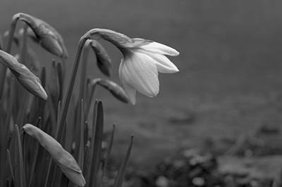 Photograph - Spring Daffodils by Ron Roberts