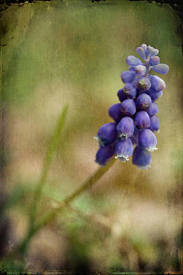 Blue Grapes Photograph - Spring Delight by Michael Eingle