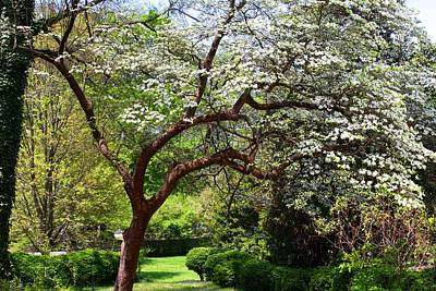 Photograph - Spring Dogwood by Kathryn Meyer