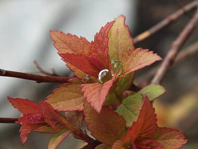 Photograph - Spring Drop by Gene Cyr