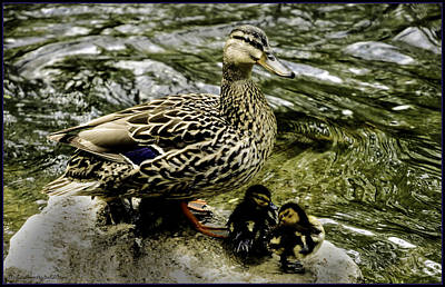 Drake Photograph - Spring Ducks On The Clinton River by LeeAnn McLaneGoetz McLaneGoetzStudioLLCcom