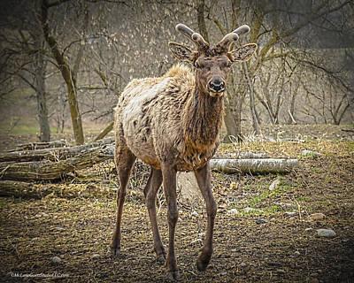 Photograph - Spring Elk by LeeAnn McLaneGoetz McLaneGoetzStudioLLCcom