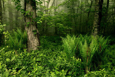 Photograph - Spring Ferns Of The Blue Ridge 1 by Dan Carmichael