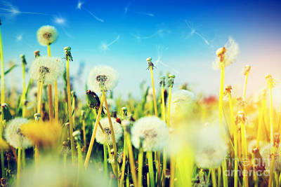 Plants Photograph - Spring Field With Flowers Dandelions In Fresh Grass by Michal Bednarek