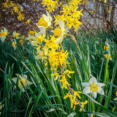 Daffodils Photograph - Spring Floral Square by Bill Wakeley