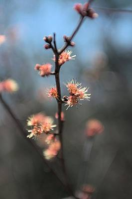 Photograph - Spring Flower  Buds   by Douglas Pike