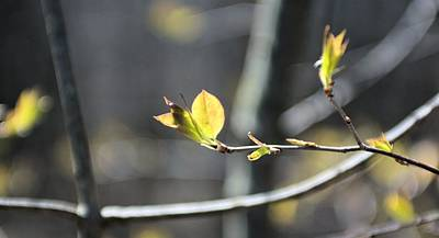 Photograph - Spring Flower Buds 2 by Douglas Pike