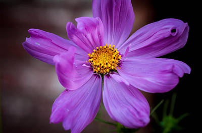 Photograph - Cosmo Spring Flower Horizontal by Connie Cooper-Edwards