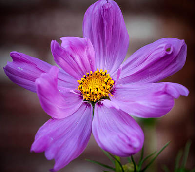 Photograph - Cosmo Spring Flower Square by Connie Cooper-Edwards