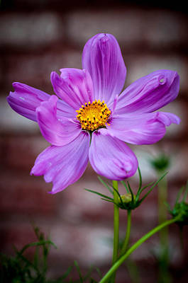 Photograph - Cosmo Spring Flower Vertical by Connie Cooper-Edwards