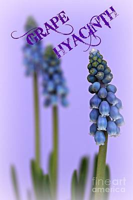 Muscari Photograph - Spring Flowers by Clare Bevan