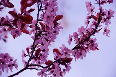 Photograph - Spring Fruit Tree Blossoms by Tikvah's Hope