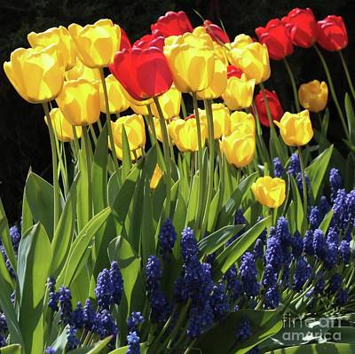 Backlit Tulip Photograph - Spring Garden Sunshine Square by Carol Groenen