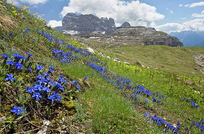 Gentian Photograph - Spring Gentian (gentiana Verna) In Flower by Bob Gibbons