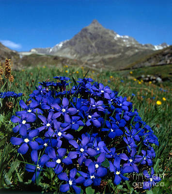 Gentian Photograph - Spring Gentian by Hans Reinhard