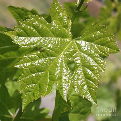 Spring Grape Leaf Print by Carol Groenen