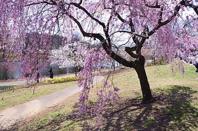 Photograph - Cherry Blossom Trees Of Branch Brook Park 9 by Allen Beatty