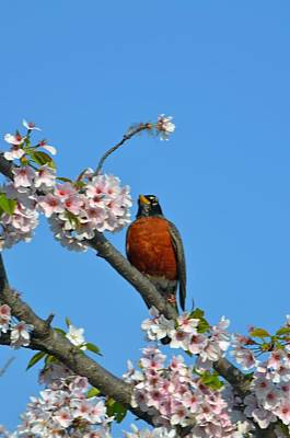 Photograph - Spring In Dc With Blossoms And Robin by Jeff at JSJ Photography