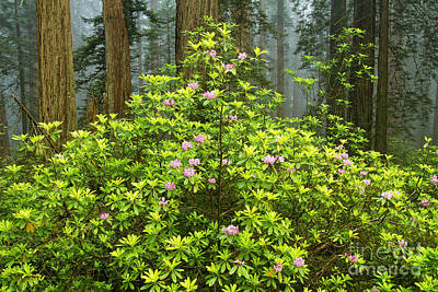 Photograph - Spring In The Redwood Forest by Stuart Gordon