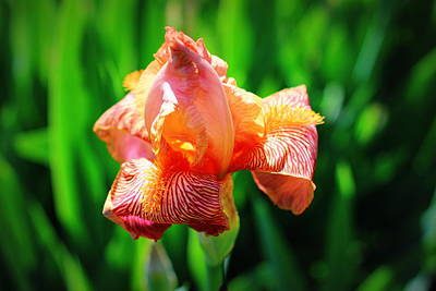 Iris Photograph - Spring Iris In Bloom by Barbara Giuliano