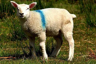 Spring Lamb Art Print by Aidan Moran