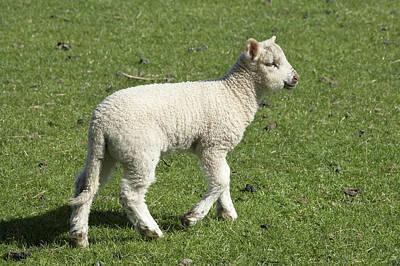 Spring Lamb, Dunedin, Otago, South Print by David Wall