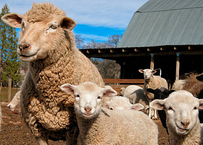 Photograph - Spring Lambs by Kathleen Bishop