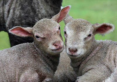 Spring Lambs Art Print by Pete Hemington