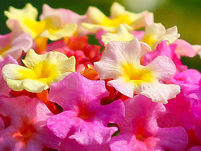 Spring Lantana Art Print by James Hammen