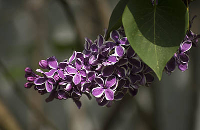 Photograph - Spring Lilac by Elsa Marie Santoro