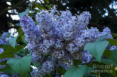 Spring Lilac Art Print by Mandy Judson
