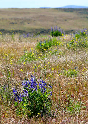 Photograph - Spring Lupines And Cheatgrass by Carol Groenen