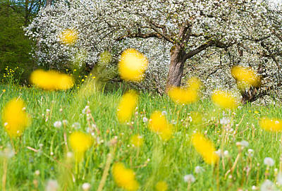 Photograph - Spring Meadow With Yellow Flowers by Matthias Hauser