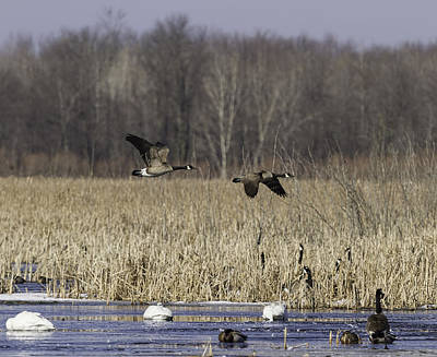 Canadian Marsh Photograph - Spring Migration At The Marsh by Thomas Young