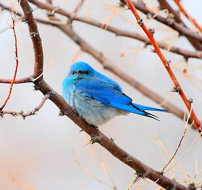 Photograph - Spring Mtn. Blue Bird by Floyd Tillery