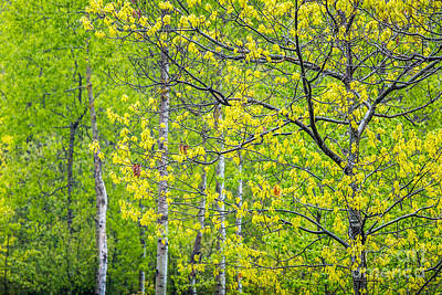 Photograph - Spring Oaks In Acadia by Susan Cole Kelly