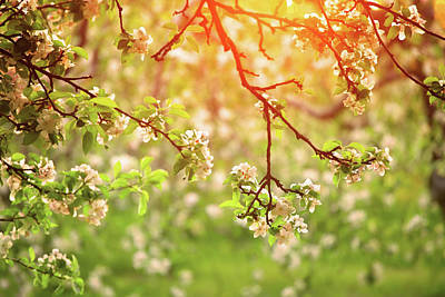 Photograph - Spring Orchard In Sunset Light by Konradlew