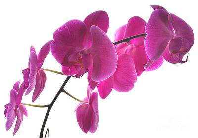 Photograph - Spring Orchids by Judy Via-Wolff