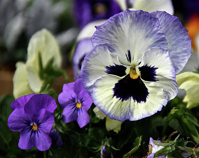 Spring Pansy Flower Art Print by Ed  Riche