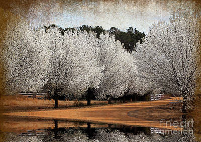 Photograph - Spring Pear Blossoms by Kathy Baccari